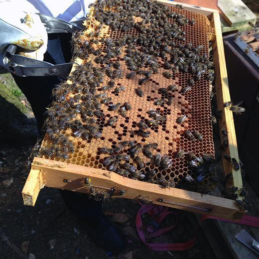 Brutwabe aus einem Bienenstock